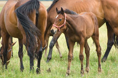 A foal Royalty Free Stock Images