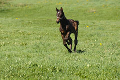 foal Στοκ Φωτογραφίες