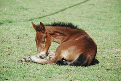 Foal. In a field (Italy Stock Photography