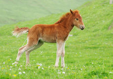 The foal Royalty Free Stock Image