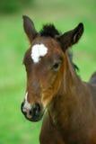 Foal Immagine Stock