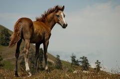 Foal Immagini Stock Libere da Diritti