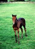 Foal. Royalty Free Stock Photography