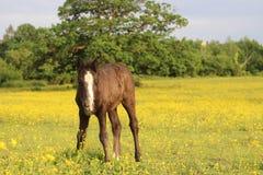Foal1 imagen de archivo libre de regalías