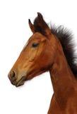 Πορτρέτο foal Στοκ Φωτογραφία