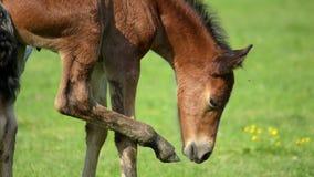 foal stock videobeelden