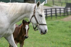 Foal 5. A mare with her newborn foal Royalty Free Stock Image