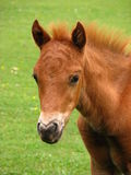 Foal. Cute little wild New Forest foal in a green meadow Royalty Free Stock Photography