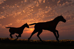 Foal. Scene two horses on background of the sundown Stock Photos