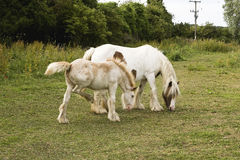 Φοράδα και Foal (2) Στοκ Εικόνες