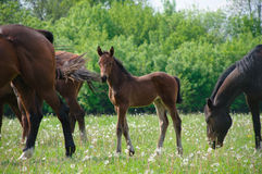 foal Royalty-vrije Stock Afbeeldingen