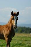 Foal Fotografia Stock