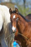 Foal. Colt back around Mother closeup Stock Image