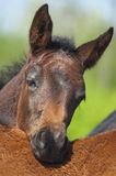 Foal. Colt back around Mother closeup Stock Images