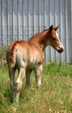 Foal. Sorrel colt standing in deep green grass near gray barn Stock Photography