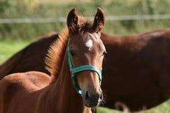 foal Στοκ φωτογραφίες με δικαίωμα ελεύθερης χρήσης
