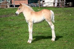 Foal Stock Photo
