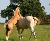 Foal allegro Fotografia Stock Libera da Diritti