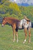 Foal Appaloosa Στοκ Φωτογραφίες
