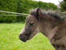 Foal appena nato del cavallino Immagine Stock Libera da Diritti