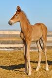 Foal appena nato dell'acetosa - soltanto 5 giorni Fotografia Stock