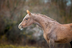 Foal of Arabian horse in autumn Stock Photos
