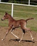 Foal arabo Fotografia Stock