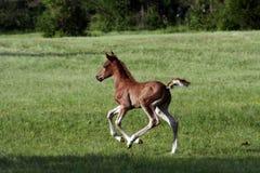 Foal arabo Fotografia Stock Libera da Diritti