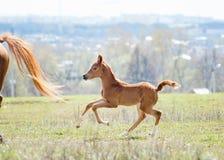 Foal arabo Fotografie Stock