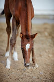Foal with an asterisk on a forehead. Stock Images