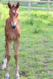 A foal. A baby foal standing in a field Stock Photography