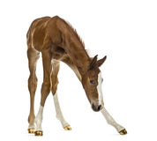 Foal balancing and looking down Royalty Free Stock Photo