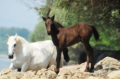 Foal. A bay little foal grazes on a spring meadow Royalty Free Stock Image