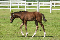 Foal. A bay little foal grazes on a spring meadow Royalty Free Stock Images
