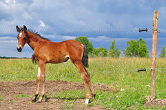 Foal  behind electric fence Stock Photo