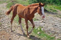 foal Bevlekte weinig paard royalty-vrije stock foto