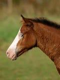 Foal bianco del fronte Fotografia Stock