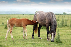 Foal Stock Photography