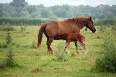 Foal breastfeeding Stock Photo