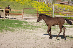 Foal. A brown foal with black mane and tail Royalty Free Stock Images