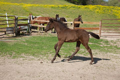 Foal. A brown foal with black mane and tail royalty free stock photo