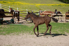 Foal. A brown foal with black mane and tail royalty free stock photos