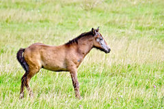 Foal brown on green meadow Royalty Free Stock Images