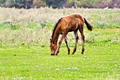 Foal brown on meadow Stock Photos