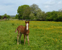 Foal in buttercups Stock Images