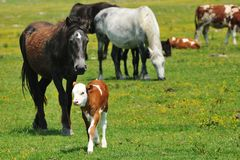 Foal and calf in a meadow. Chicks Stock Photos