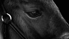 Foal changing its. Foal portrait close up Royalty Free Stock Photography