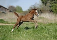 Foal che jumoing immagini stock