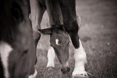 Foal che pasce da Mare Fotografie Stock Libere da Diritti