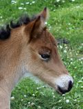 A foal close up Royalty Free Stock Images